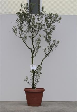 オリーブ鉢植え セントキャサリン No.6017