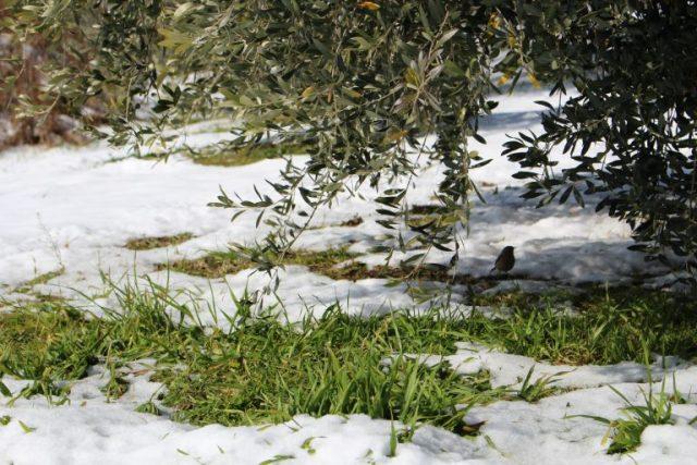 冬のオリーブの育て方。水やり・剪定などの管理法をご紹介!