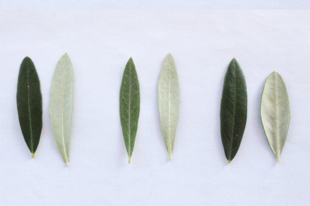 オリーブ第3の美肌成分!オリーブ葉の有用性とそのヒミツ