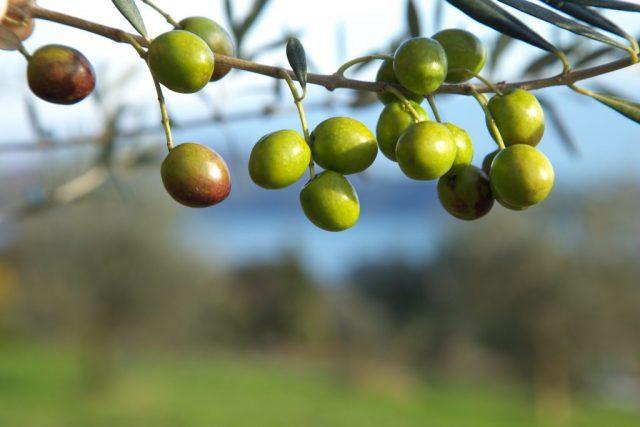 日本オリーブ生まれの「オリーブ果汁」美肌にうれしいその理由とは?