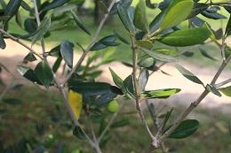 ).1オリーブの管理(葉が黄色い