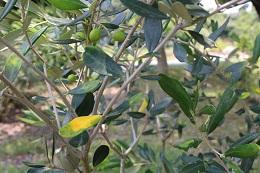 オリーブの管理(葉が黄色い).2