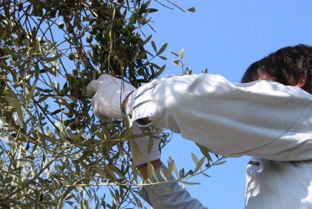 オリーブの木の育て方:目次