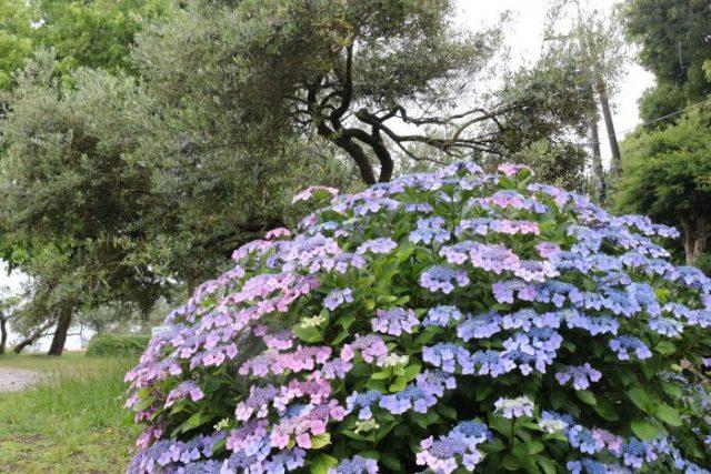 【農園だより】梅雨を彩るアジサイが満開です。