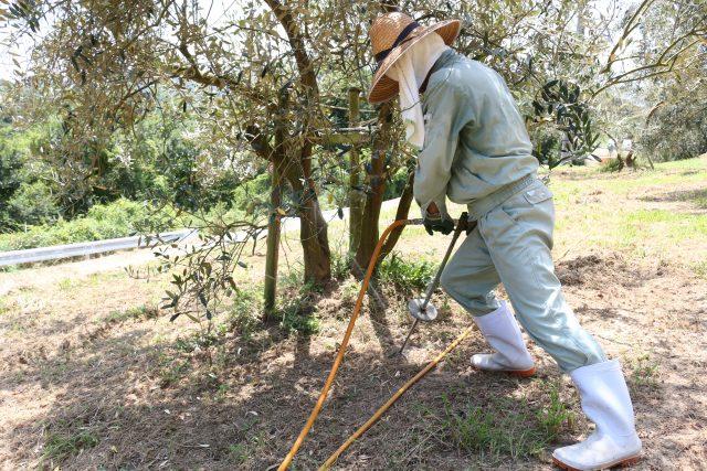 【農園だより】オリーブの灌水作業