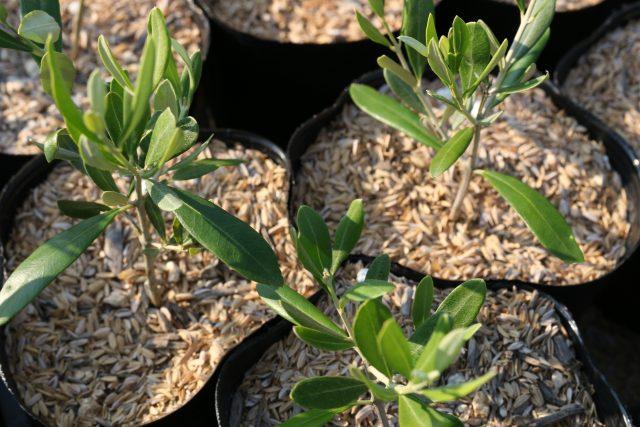 【農園だより】今年のオリーブ苗木、こんなに大きくなりました。