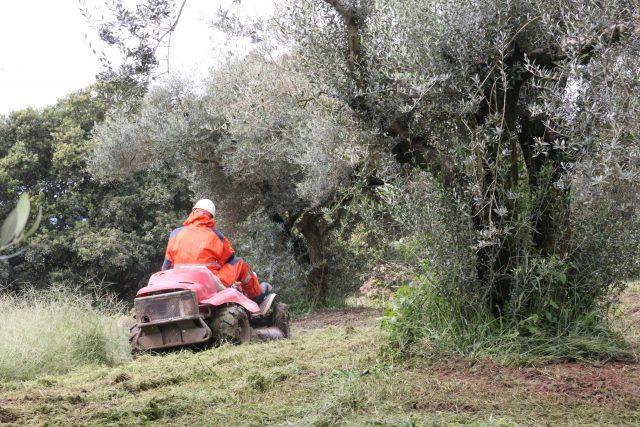 【農園だより】オリーブ収穫準備進む!