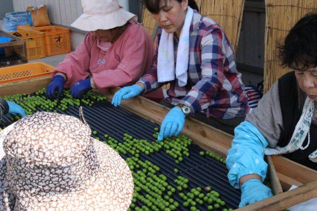 【農園だより】オリーブの選別作業