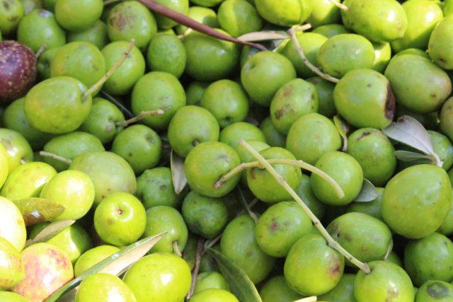 【農園だより】オリーブの収穫順調!!
