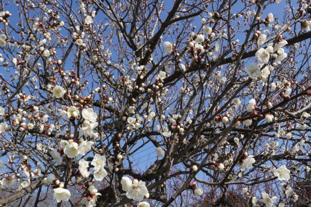 【農園だより】オリーブ園春到来!!