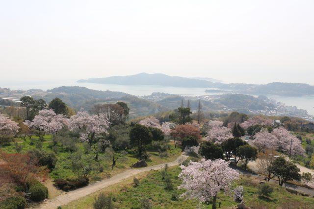 【農園だより】オリーブ園桜の彩!!