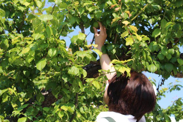 【農園だより】梅の収穫を行いました!