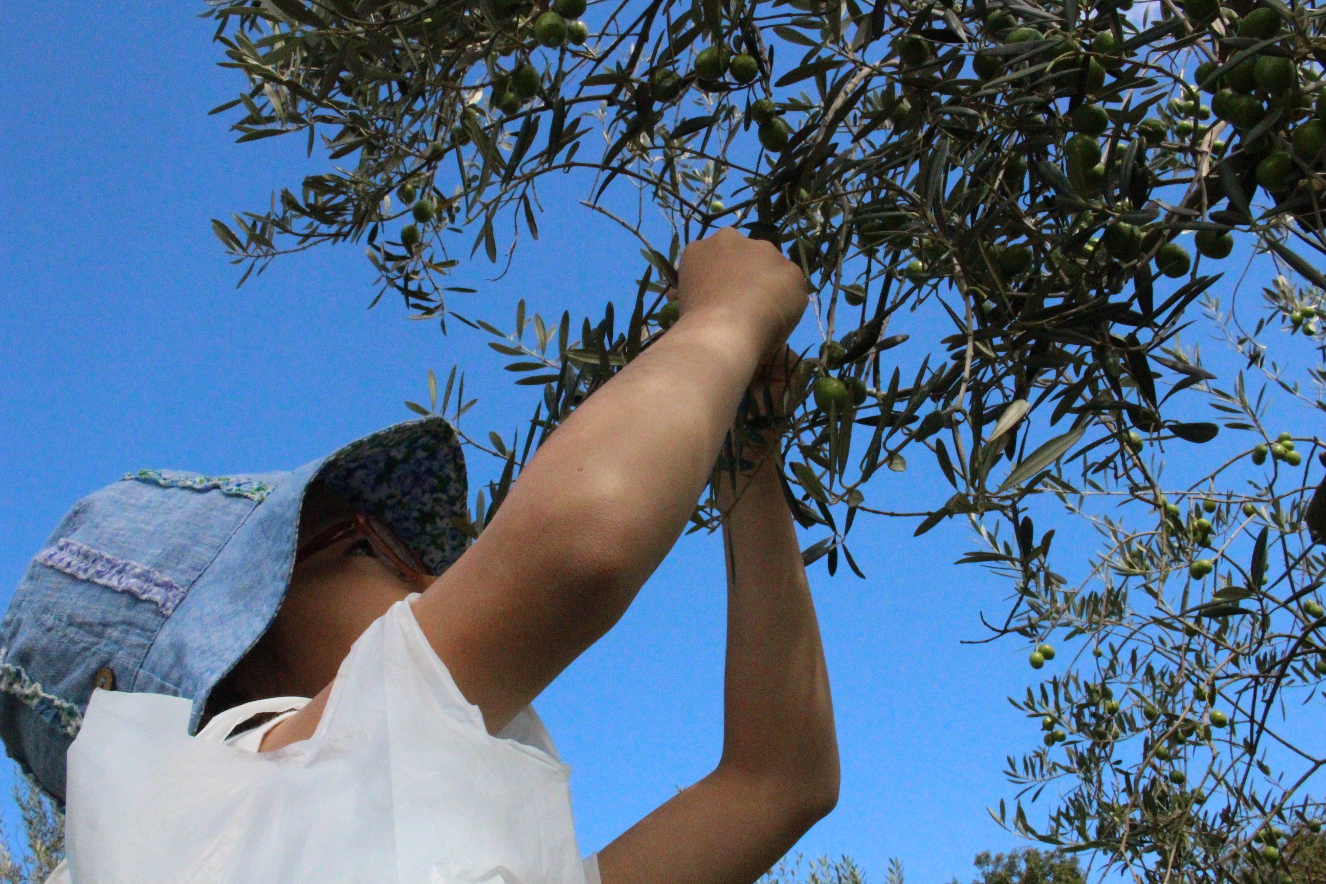 【農園だより】オリーブ収穫体験&浅漬け作り方講習