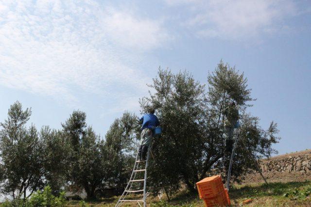 【農園だより】オリーブの収穫続く