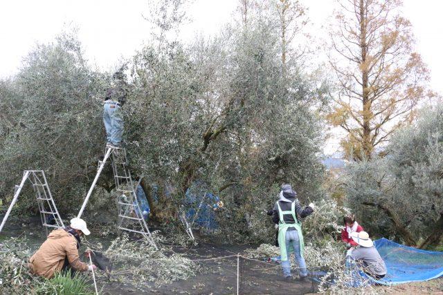 【農園だより】オリーブの収穫終盤に近づく!