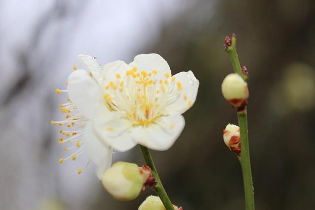 【農園だより】白梅が咲き始めました!