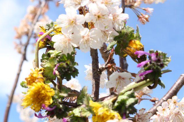 【農園だより】サクランボの花が満開です!