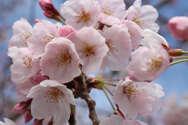 【農園だより】オリーブ園桜の季節