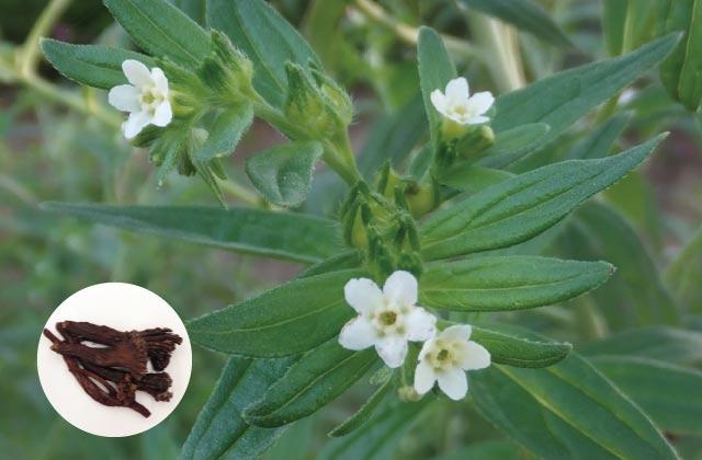 牛窓オリーブフォーラム vol.2 紫根の薬草的価値_2020年7月