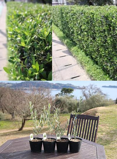 オリーブの木 アルベキナの垣根
