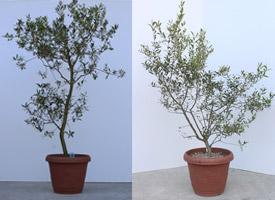 アルベキナの樹形