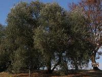 ルッカの樹形