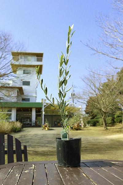 オリーブの木 マンザニロ