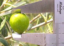 オリーブ果実
