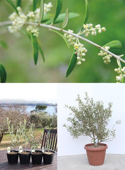 オリーブの木 ネバディロ=ブランコ